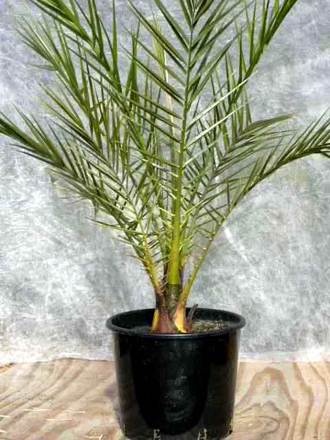 The Parts House >> Phoenix theophrastii - The Palm House - specialists in Trachycarpus wagnerianus