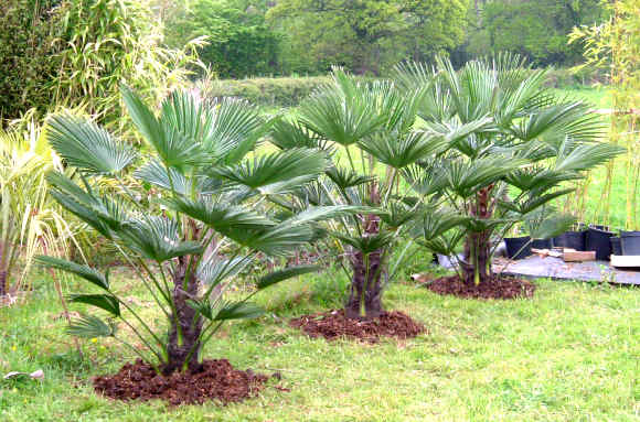 Trachycarpus wagnerianus the palm house specialists in